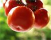 menurouge_tomate.jpg